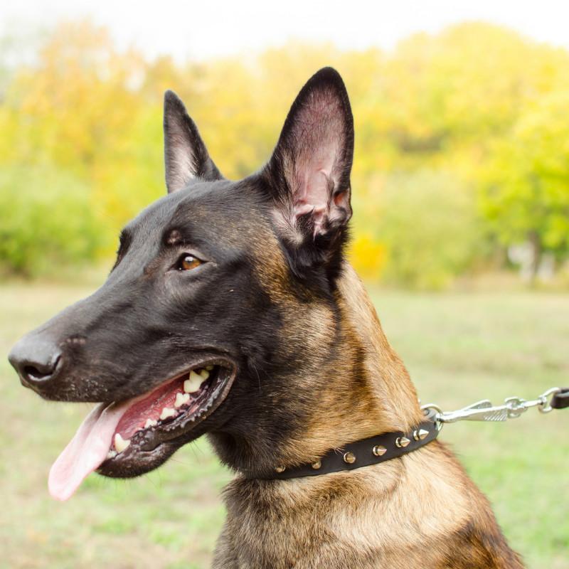67a8a45c7382 Collar estrecho incrustado perros Belga malinois «Fila de púas»
